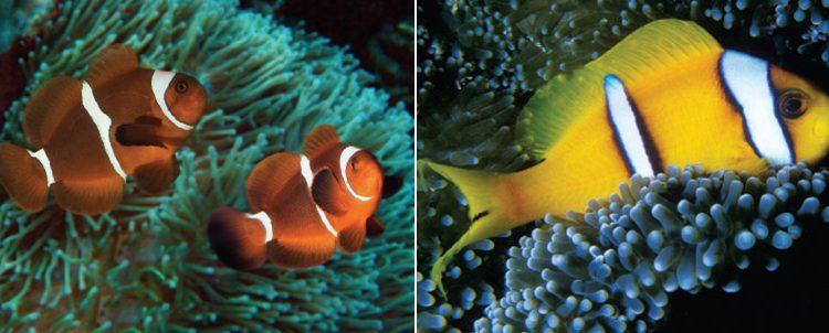 Os peixes-das-anémonas